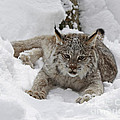 Baby Lynx in a Winter Snow Storm Poster by Inspired Nature Photography By Shelley Myke