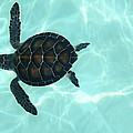 Baby Sea Turtle Print by Ellen Henneke