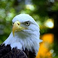 Bald Eagle Poster by Terri Mills