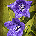 Balloon Flower Poster by Marcia Colelli