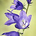 Balloon Flowers Print by Tony Cordoza