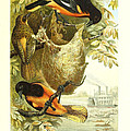 Baltimore Orioles Print by Unknown Artist