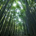 Bamboo Forest Print by Aaron S Bedell