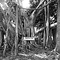 Banyan Tree Poster by Retro Images Archive