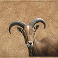 Barbary Ram Poster by James W Johnson