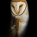 Barn Owl Poster by Bill  Wakeley
