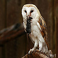 Barn Owl with Catch of the Day Poster by Inspired Nature Photography By Shelley Myke