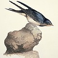 Barn swallow, 19th century Poster by Science Photo Library