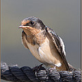 Barn Swallow on Rope I Print by Patti Deters