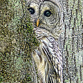Barred Owl Peek a Boo Print by Jennie Marie Schell