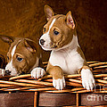 Basenji Puppies Print by Marvin Blaine