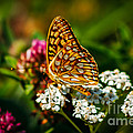 Beautiful Butterfly Poster by Robert Bales