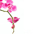 Beautiful Orchids Poster by Boon Mee