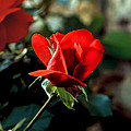 Beautiful Red Rose Bud Print by Robert Bales