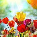 Beautiful Spring Tulips Poster by Boon Mee