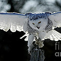 Beauty in Motion- Snowy Owl Landing Poster by Inspired Nature Photography By Shelley Myke
