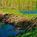 Beaver Lodge and Dam on Colbert Creek on Rock Spring Trail at Mile 330 on Natchez Trace Parkway-AL Print by Ruth Hager