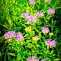 Bee Balm of the Butterfly Gardens of Wisconsin Poster by Carol Toepke