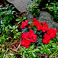 Begonia Flowers in Rock Garden Poster by Corey Ford
