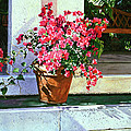 Bel-Air Bougainvillea Pot Poster by David Lloyd Glover