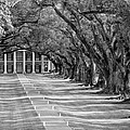 Beneath Live Oaks bw Print by Steve Harrington