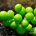 Berries on Water Poster by Kaye Menner