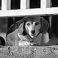 Beware - Guard Beagle on Duty in Black and White Print by Suzanne Gaff
