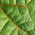 Big Green Leaf 5D22460 Print by Wingsdomain Art and Photography