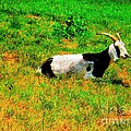 Billy Goat Enjoying The Sun Poster by Annie Zeno