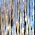 birch trees Print by Stylianos Kleanthous