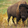 Bison Buffalo Print by National Parks Service