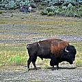 Bison In Lamar Valley Poster by Marty Koch