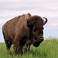 Bison on the Prairie Poster by Olivier Le Queinec