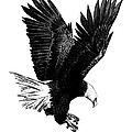 Black and White with Pen and Ink drawing of American Bald Eagle  Poster by Mario  Perez
