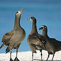 Black-footed Albatross Gamming Group Print by Tui De Roy