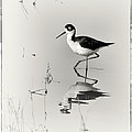 Black-necked Stilt at Carson Lake Wetlands Poster by Priscilla Burgers
