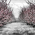 Blooming peach orchard Print by Elena Elisseeva