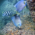 Blue Angelfish Feeding On Coral Poster by Michael Wood