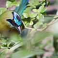 Blue-Crowned Motmot Poster by Rebecca Sherman