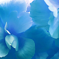 Blue Melody Begonia Floral Print by Jennie Marie Schell