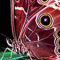 Blue Morpho Butterfly Poster by Thomas R Fletcher