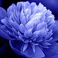 Blue Peony Poster by Sandy Keeton