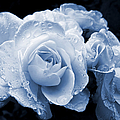 Blue Roses with Raindrops Poster by Jennie Marie Schell
