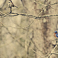 Bluebird and Sparrow Print by Heather Applegate