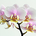 Blushing Orchids Poster by Juergen Roth