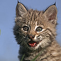 Bobcat Kitten Print by Tim Fitzharris