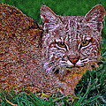 Bobcat Sedona Wilderness Poster by  Bob and Nadine Johnston