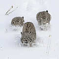 Bobcat Trio Print by Robert Weiman