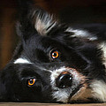 Border Collie Poster by Robert Smith