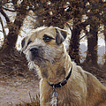 Border Terrier in the woods Poster by John Silver
